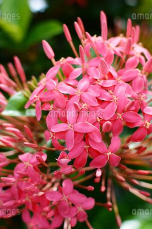 ピンク色のサンダンカの花の写真素材 [FYI03127583]