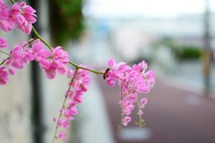路地裏に咲くアサヒカズラに止まる蜂の写真素材 [FYI03127591]