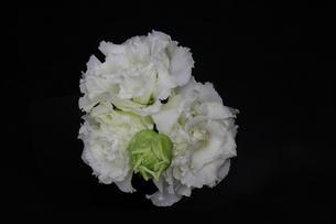 トルコキキョウの花束の写真素材 [FYI03127637]
