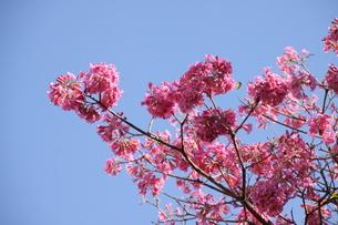 ブラジル国花のイペーの写真素材 [FYI03127646]