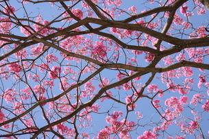 ブラジル国花のイペーの写真素材 [FYI03127655]