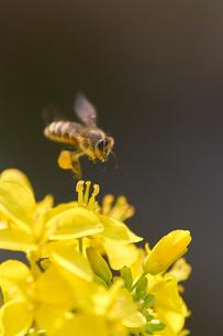 ミツバチ ホバリング 菜の花の写真素材 [FYI03127685]