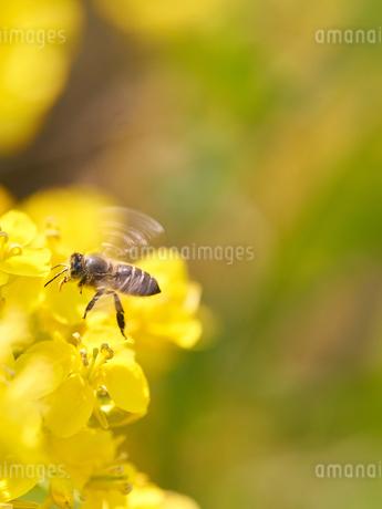 ミツバチ ホバリング 菜の花の写真素材 [FYI03127686]