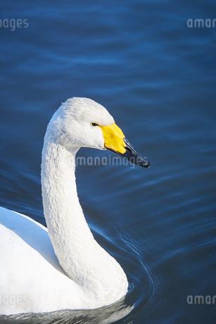 白鳥の写真素材 [FYI03127689]