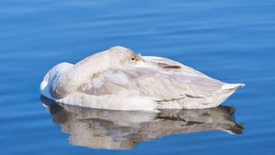 白鳥 幼鳥 休憩の写真素材 [FYI03127698]