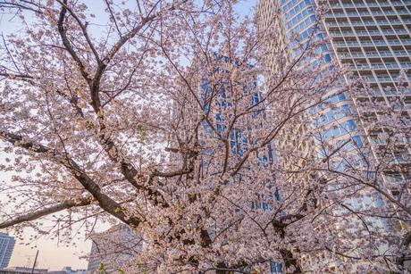 満開の桜と二子玉川のビル群の写真素材 [FYI03127834]