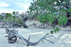 ニューカレドニア ウヴェア島の白い砂に流れ着いた流木と緑の木々の写真素材 [FYI03127899]