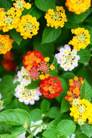 カラフルなランタナの花の写真素材 [FYI03127921]