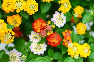 カラフルなランタナの花の写真素材 [FYI03127922]