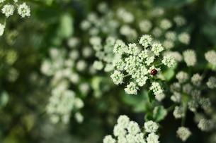 シャクの花とてんとう虫の写真素材 [FYI03127924]