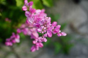 ピンクのアサヒカズラの花の写真素材 [FYI03127928]