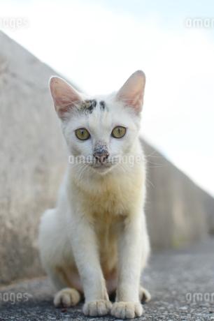 可愛い猫がこちらをじっと見つめるの写真素材 [FYI03127929]