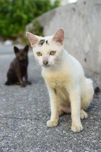 小さい白猫と黒猫の写真素材 [FYI03127931]