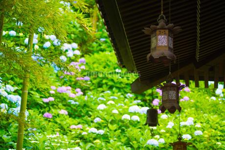 紫陽花イメージの写真素材 [FYI03127996]