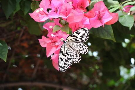 花にとまるアゲハ蝶の写真素材 [FYI03128004]