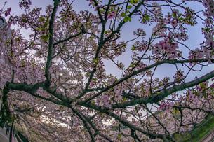 春の山北駅(神奈川県足柄上郡)の桜の写真素材 [FYI03128019]