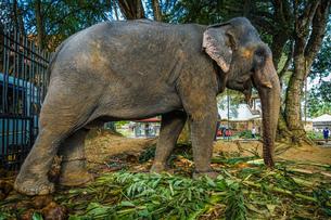 スリランカ・キャンディーの象の写真素材 [FYI03128030]