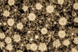カモミール・マーガレットの壁紙の写真素材 [FYI03128129]