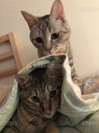 猫 姉妹 仲良しの写真素材 [FYI03128151]