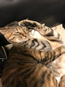猫 姉妹 仲良しの写真素材 [FYI03128155]