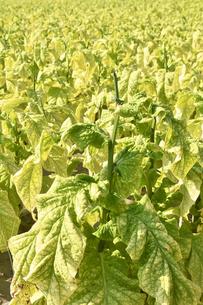 収穫前の煙草の葉の写真素材 [FYI03128306]