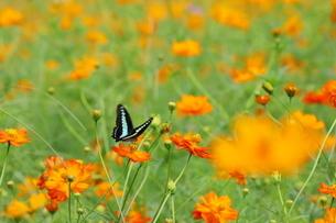 キバナコスモスとアゲハ蝶の写真素材 [FYI03128354]