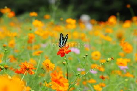 キバナコスモスとアゲハ蝶の写真素材 [FYI03128360]