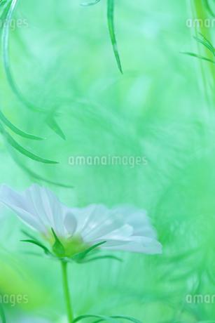 コスモス写真  花写真素材 背景緑色の写真素材 [FYI03128471]