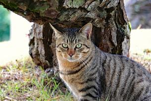 カメラ目線のネコの写真素材 [FYI03128479]