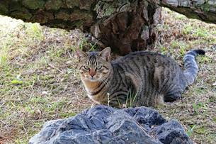 ネコと目が合うの写真素材 [FYI03128480]