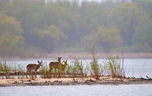 湖岸に集まるシカたちの写真素材 [FYI03128504]