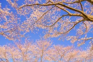 満開の桜と晴天の青空(調布飛行場)の写真素材 [FYI03128578]