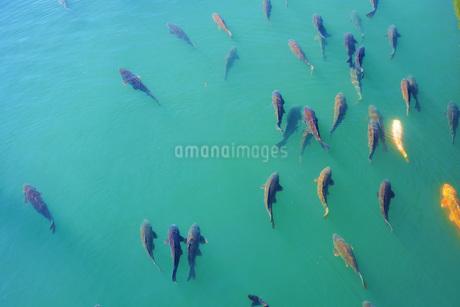 川を泳ぐ鯉の写真素材 [FYI03128625]