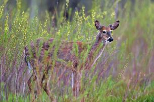 茂みから現れた若いオスジカの写真素材 [FYI03128628]
