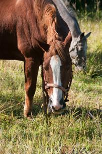馬 2頭で 仲良く 牧草を 食べる 馬の写真素材 [FYI03128878]