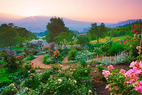 バレリーナなどのバラと朝日と浅間山遠望の写真素材 [FYI03128914]