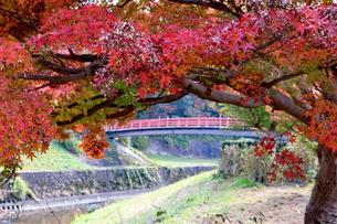 秋のもみじと赤い橋の写真素材 [FYI03128941]