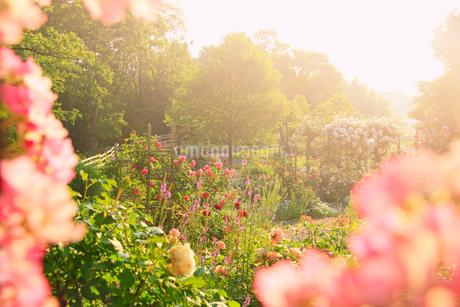 バレリーナ越しのジェネラシオンジャルダンなどのバラと朝の光の写真素材 [FYI03128957]