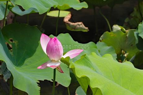 庭園に咲く蓮の花の写真素材 [FYI03129113]