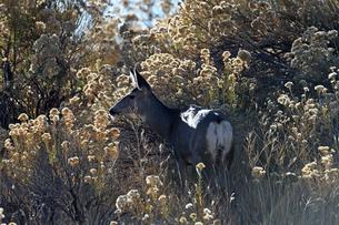 背の高い枯れ草の間から近くにいるオスに気を配るメスジカの写真素材 [FYI03129121]