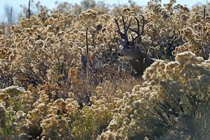 背の高い枯れ草の間から何かを見つめるオスジカの写真素材 [FYI03129123]