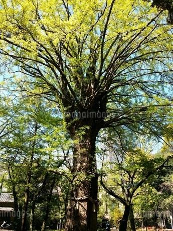神の木の写真素材 [FYI03129164]