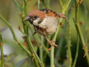 飛び立つ瞬間の雀の写真素材 [FYI03129528]