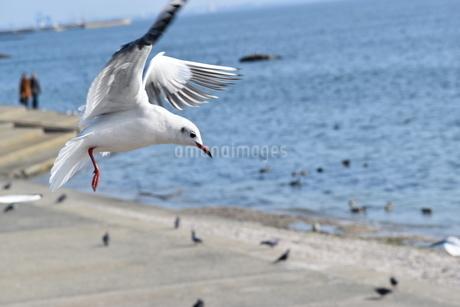 羽ばたくカモメの写真素材 [FYI03129541]