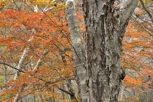 楓の紅葉とダケカンバの大木の写真素材 [FYI03129571]