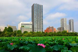 不忍池の蓮の花 上野公園の写真素材 [FYI03129772]