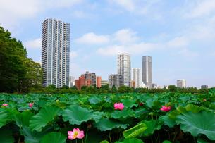 不忍池の蓮の花 上野公園 の写真素材 [FYI03129773]