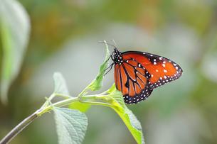 葉にとまり休んでいる蝶の写真素材 [FYI03129799]