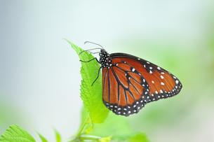 葉にとまり休んでいる蝶の写真素材 [FYI03129808]