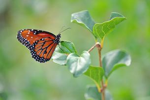 葉の上にとまる蝶の写真素材 [FYI03129809]